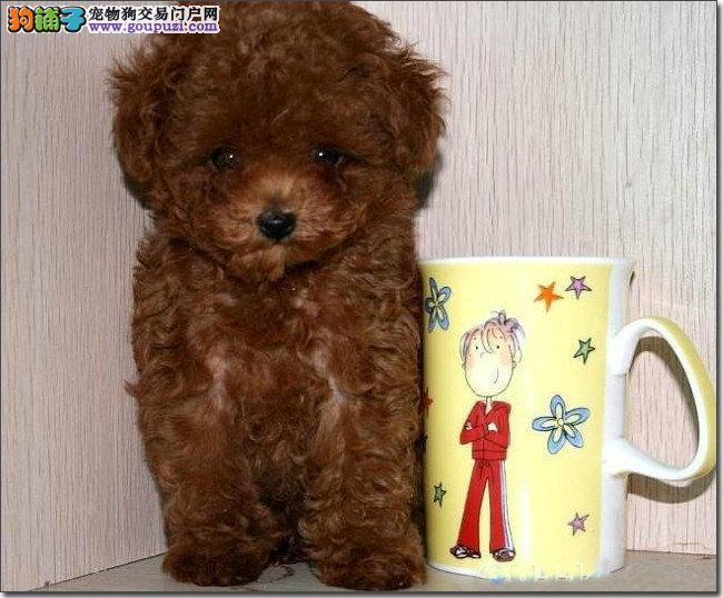 实物照片茶杯犬 韩国血统 颜色齐全 保纯种和健康