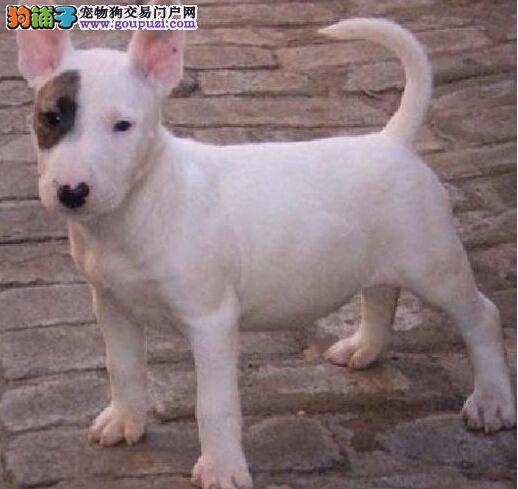 广州哪里有卖牛头梗广州哪里有专业养狗场