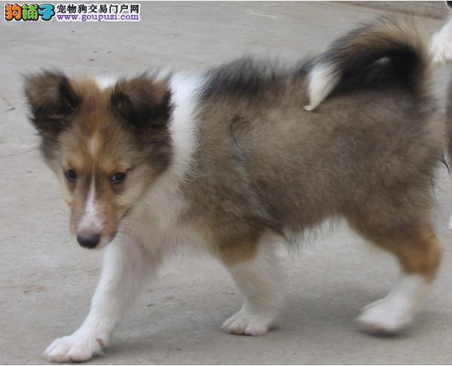 广州哪里有卖苏格兰牧羊犬广州哪里有专业养狗场