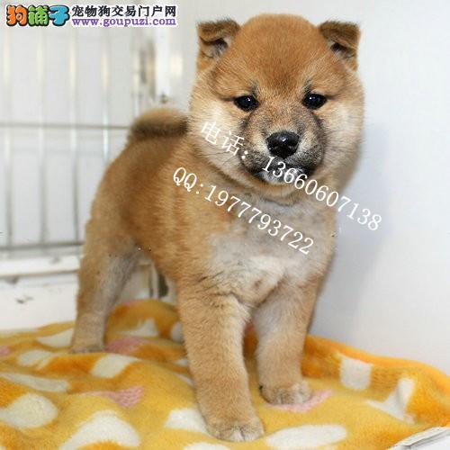 广东最大养狗基地赛级纯种柴犬