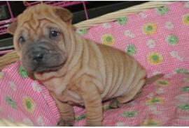 CKU认证犬舍 专业出售极品 沙皮狗幼犬可刷卡可视频