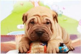 犬舍低价热销 沙皮狗血统纯正价格美丽品质优良