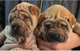 赛级沙皮幼犬 可见狗狗的父母 保纯种保健康