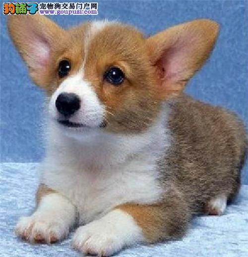 繁殖纯种柯基幼犬 买狗可签订协议 质保终身