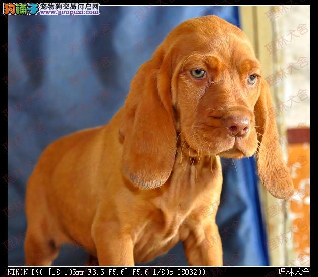 纯种波音达猎犬出售一理林犬舍一中央电视台推荐犬舍