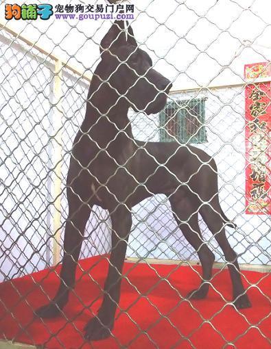 铜仁自家繁殖大丹犬出售公母都有喜欢它的快来