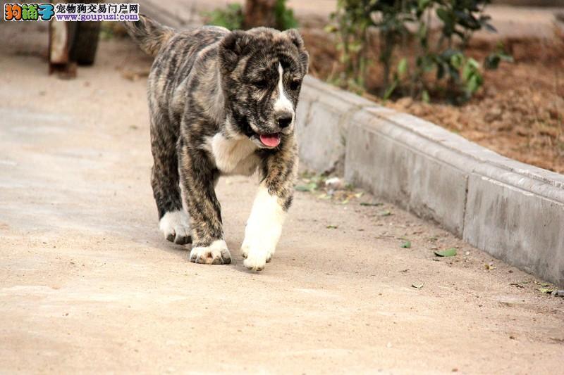 上海自家狗场繁殖直销中亚牧羊犬幼犬全国十佳犬舍