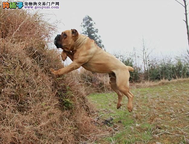 最大犬舍出售多种颜色卡斯罗犬品质一流三包终身协议