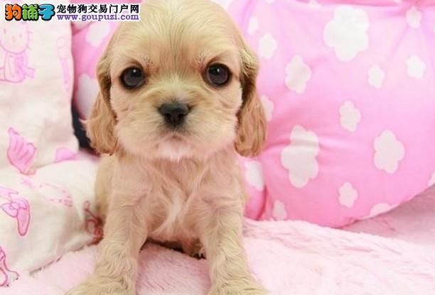 惠州哪个狗场比较正规 惠州在哪个狗场买得到可卡犬