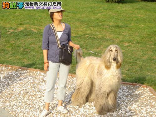 拉萨自家繁殖阿富汗猎犬出售公母都有价格美丽品质优良