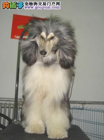 国际注册犬舍 出售极品赛级阿富汗猎犬幼犬终身售后协议