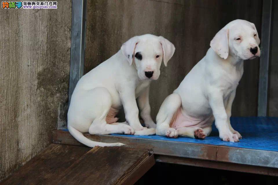 基地出售纯种杜高 杜高幼犬 赛级杜高犬欢迎上门