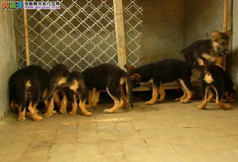 新疆乌鲁木齐哪里有纯种的狼狗 欢迎来我狗场挑选