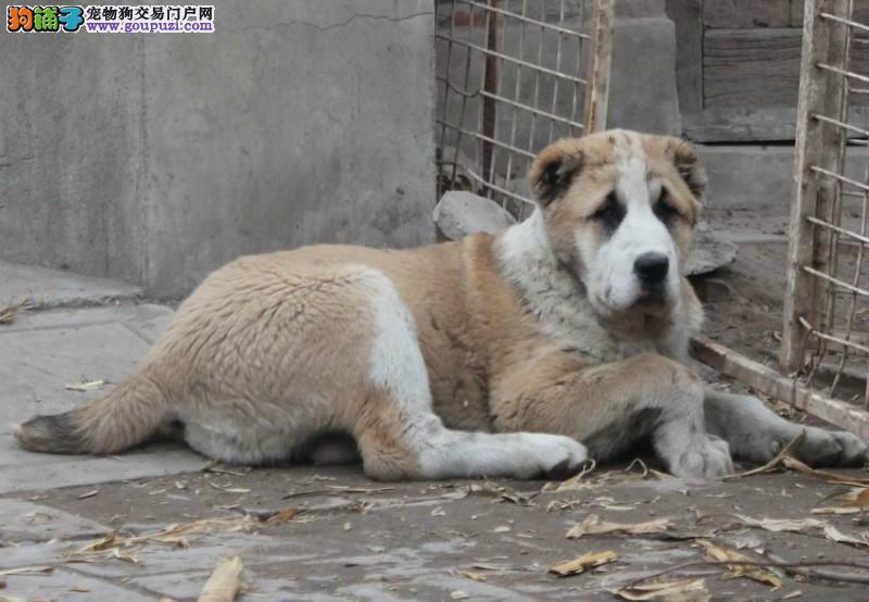 自家繁殖中亚牧羊犬出售公母都有诚信经营三包终身协议