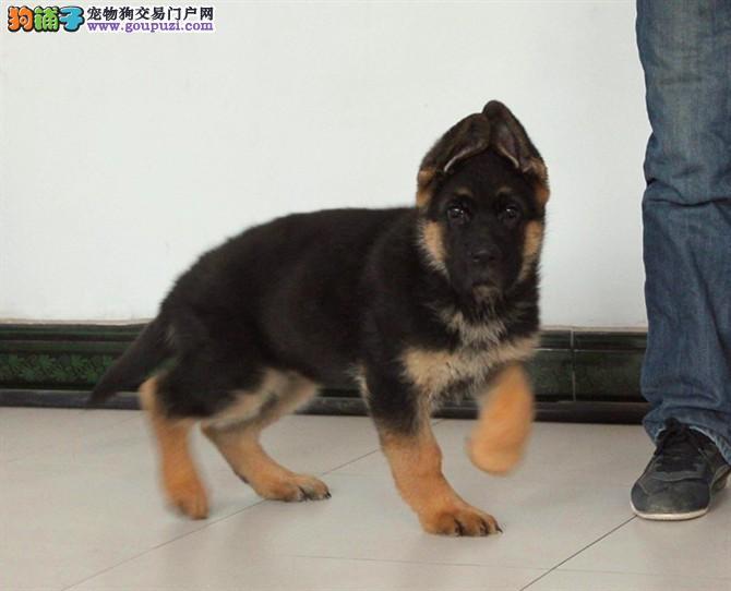 专业正规犬舍热卖优秀的乌鲁木齐狼狗可直接视频挑选