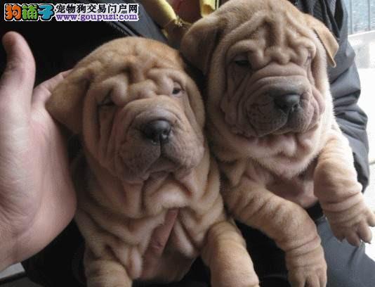 沙皮狗济南最大的正规犬舍完美售后国际血统证书