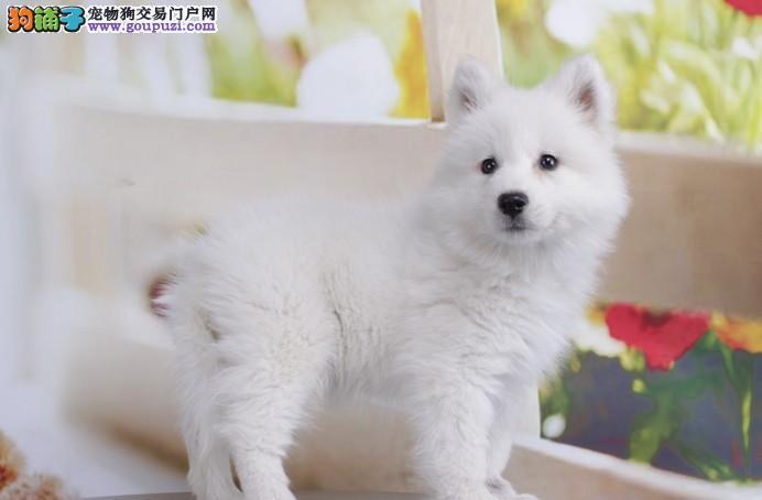 上海哪里有卖银狐幼犬上海纯种银狐多少钱银狐价格