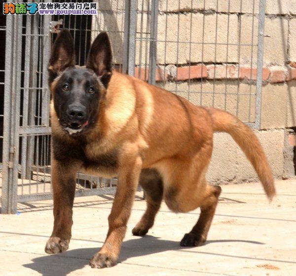武汉知名犬舍出售多只赛级马犬终身售后保障