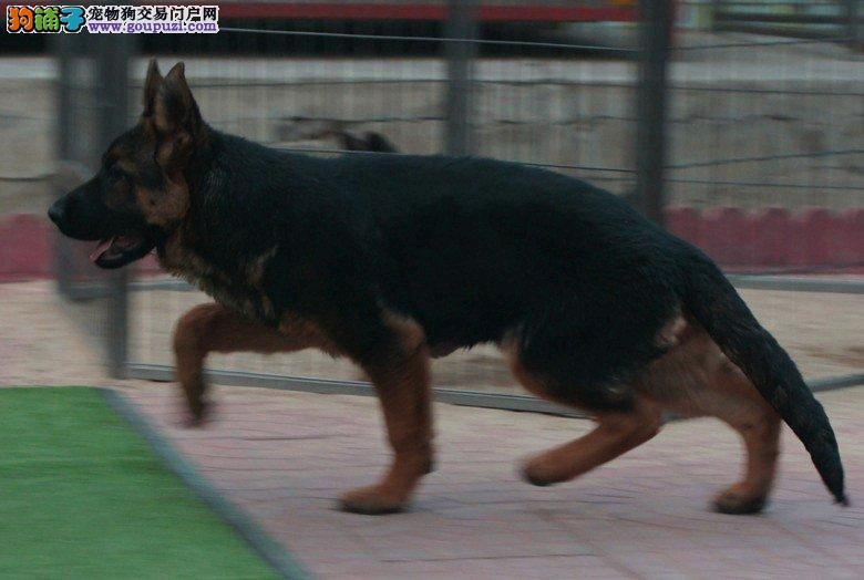 北京最大锤系牧羊犬养殖基地,诚邀天下犬友前来赏犬