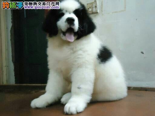 极品纽芬兰犬出售 真实照片保纯保质 签订正规合同