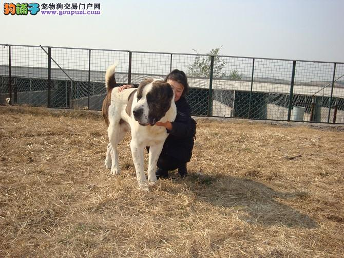 出售正宗血统优秀的中亚牧羊犬均有三证保障