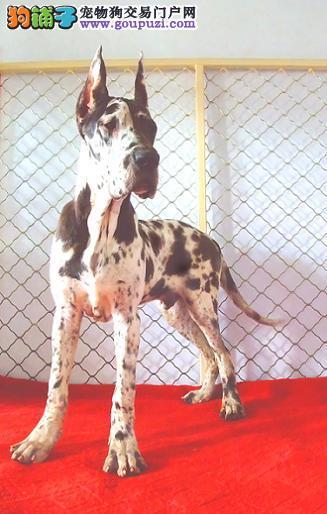 公母均有的大丹犬找爸爸妈妈提供护养指导