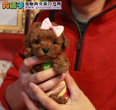 长春哪里有卖茶杯犬的 茶杯犬价格 多少钱一只
