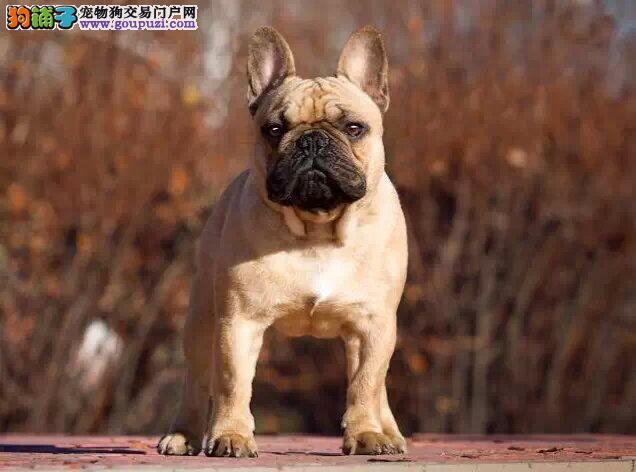 高端法国斗牛犬幼犬 欢迎选购信誉第一,实物拍摄可见父母 提供养狗指导