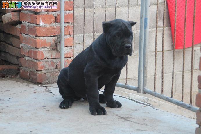 呼和浩特养殖场直销完美品相的卡斯罗犬欢迎您的光临