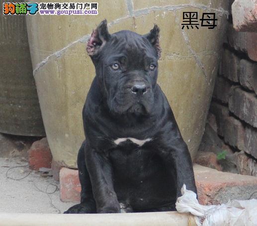 精品卡斯罗幼犬 八折 出售 喜欢的联系