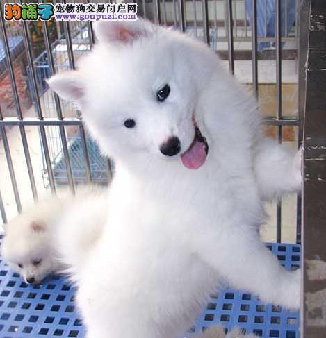 出售纯种银狐犬幼犬 尖嘴犬 纯种银狐幼犬