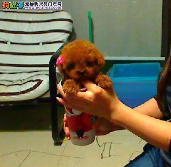 深圳哪里有茶杯犬出售小型犬迷你茶杯犬