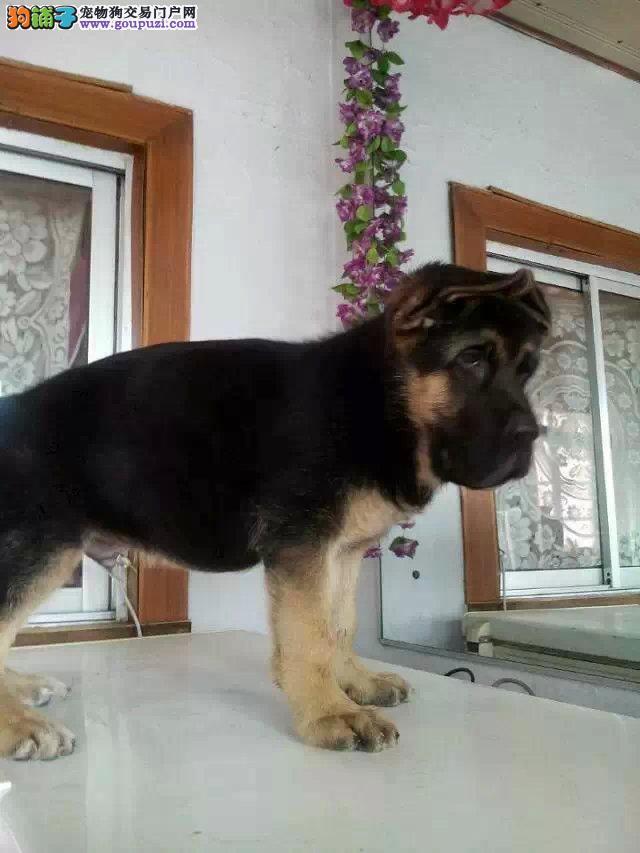 国际注册犬舍 出售极品赛级狼狗幼犬金牌店铺有保障