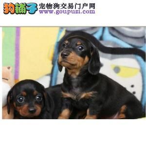 广州出售自家繁殖高品质可爱的腊肠幼犬欢迎来家选购