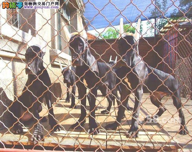 最大犬舍出售多种颜色大丹犬优质售后服务