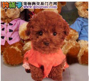 上海专业犬舍出售纯种茶杯幼犬 签健康协议 可上门