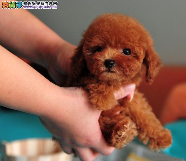 纯度不一样的茶杯犬价格也是不一样的。茶杯犬的价格总体上将会比其他的宠物狗稍微贵一点。普通的茶杯犬价格也都是很贵的,纯种不会长大的价格要在10000元以上.茶杯犬的价格贵的主要原因就是它为它的小巧迷你,这是影响茶杯犬价格的重要因素