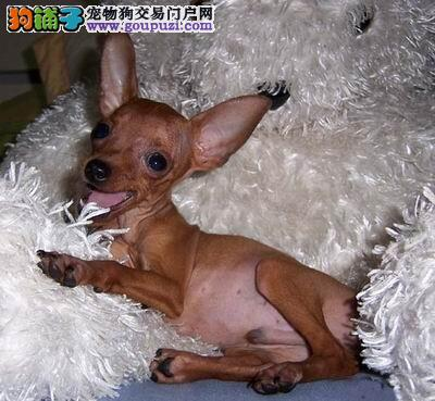 出售小鹿幼犬 铁包金/红色小鹿犬 包健康纯种