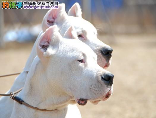 顶级杜高幼犬 血统纯正 健康出售 终身质保 可挑选