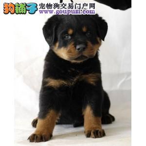 出售纯种健康的成都罗威纳幼犬我们承诺终身免费售后