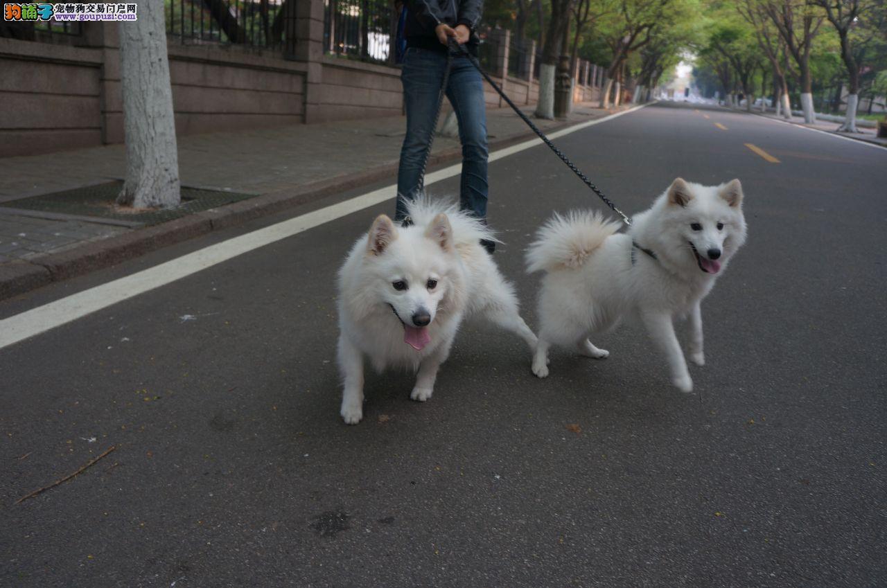 怀化哪里出售漂亮狗狗 怀化尖嘴银狐幼犬三个月