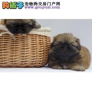 出售纯种京巴幼犬健康可靠有保证