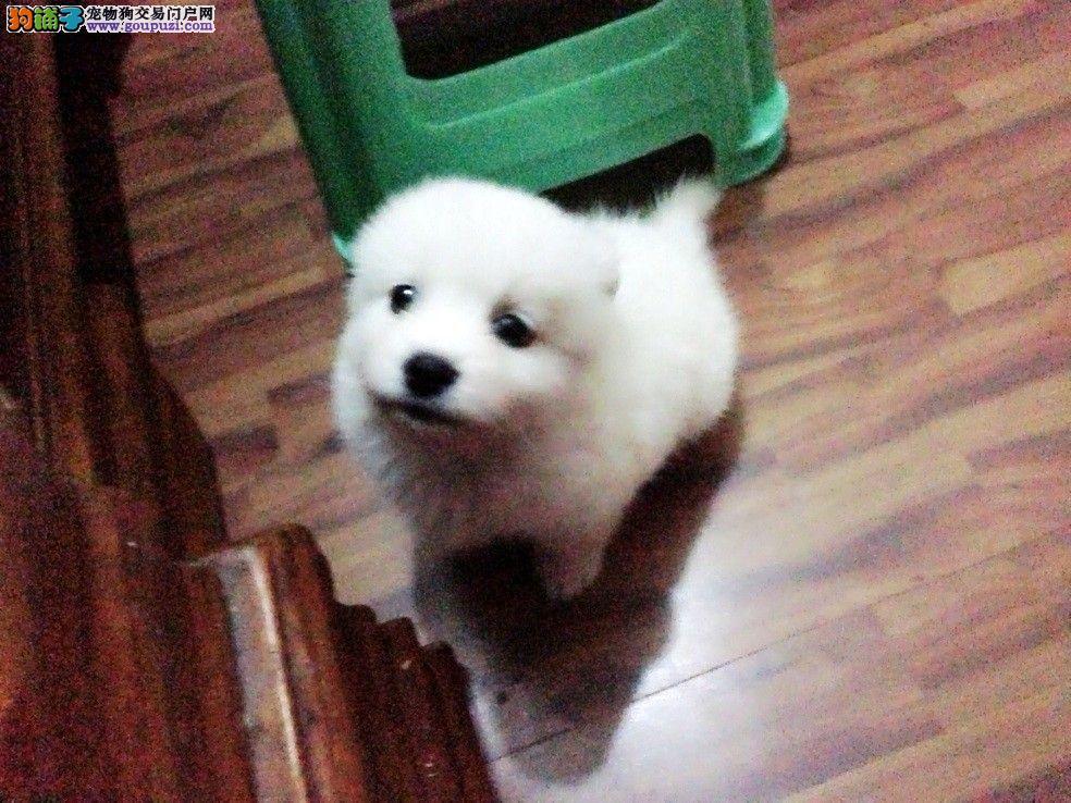 毛绒绒可爱日本银狐幼犬银狐和萨摩的区别