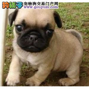 上海正规狗场犬舍直销巴哥犬幼犬保障品质一流专业售后