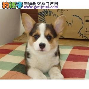 专业繁殖纯种柯基幼犬,健康质保有血统证书。