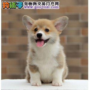 国际注册犬舍 出售极品赛级柯基幼犬签订三包合同