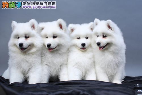 纯种赛级银狐犬、血统纯正包品质、等您接它回家