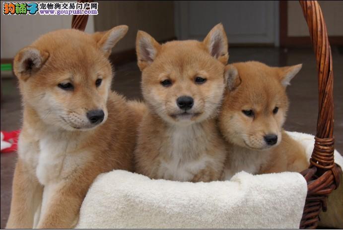 家养多只贵阳柴犬宝宝出售中喜欢它的快来