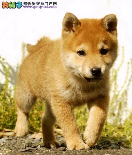 纯种可爱柴犬,血统正宗品相好疫苗齐全包纯种