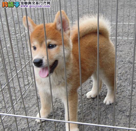 珠海哪里有卖纯种柴犬 小柴犬